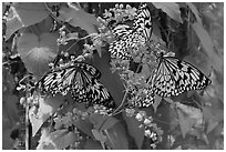 Butterflies and flowers, Sentosa Island. Singapore (black and white)