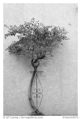Wall and tree, Tlaquepaque. Jalisco, Mexico (black and white)