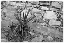 Succulent plant growing out of old wall, Puerto Vallarta, Jalisco. Jalisco, Mexico ( black and white)