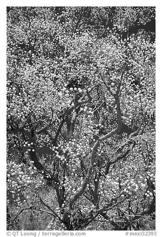 Tree with yellow fruits. Guanajuato, Mexico (black and white)