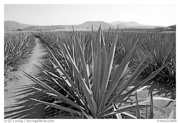 Agave field cultivated to make Tequila. Mexico (black and white)