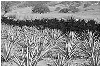 Agave field and volcanic rock wall. Mexico ( black and white)