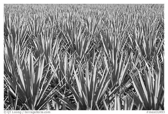 Blue agaves near Tequila. Mexico (black and white)