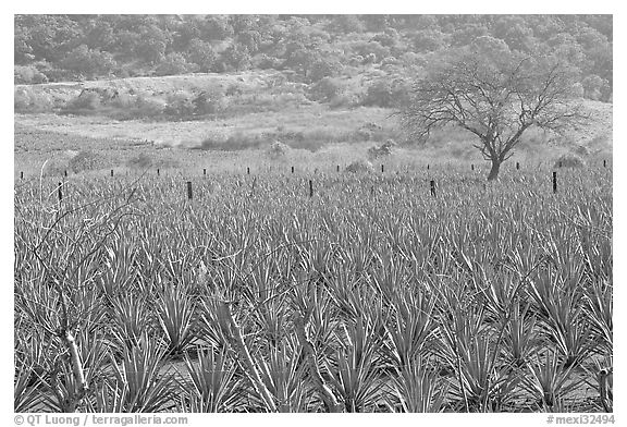 black and white picture photo agave plantation and tree mexico. Black Bedroom Furniture Sets. Home Design Ideas