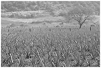 Agave plantation and tree. Mexico (black and white)