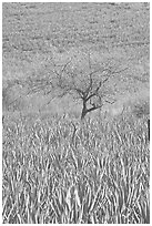 Blue Agave field and tree. Mexico (black and white)