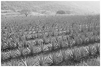 Field of agaves near Tequila. Mexico ( black and white)