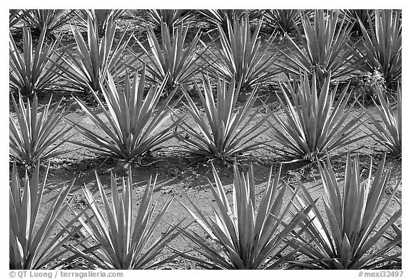 Rows of  blue agaves near Tequila. Mexico (black and white)
