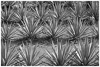 Rows of  blue agaves near Tequila. Mexico ( black and white)