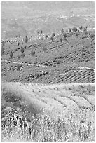 Blue agave field on hillside. Mexico (black and white)