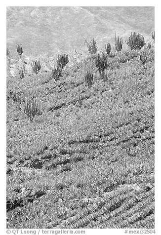 Cactus amongst blue agaves. Mexico (black and white)