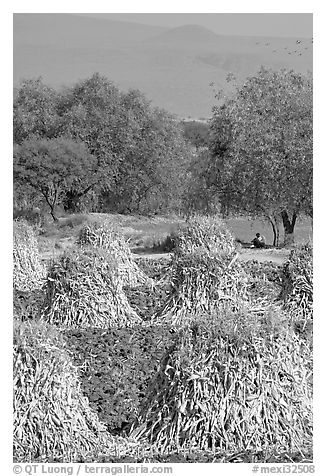 Man sitting beneath a tree near a field with stacks of corn hulls. Mexico (black and white)