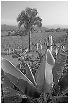 Banana trees, palm tree, and tobbaco field. Mexico (black and white)