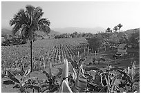 Rural scene with banana trees, palm tree, horses, and  field. Mexico (black and white)
