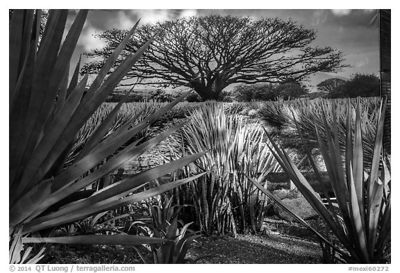 Blue agaves and pictures of agave landscape. Cozumel Island, Mexico (black and white)