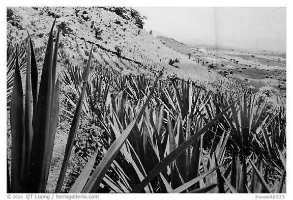 Agaves and pictures of landscape. Cozumel Island, Mexico (black and white)