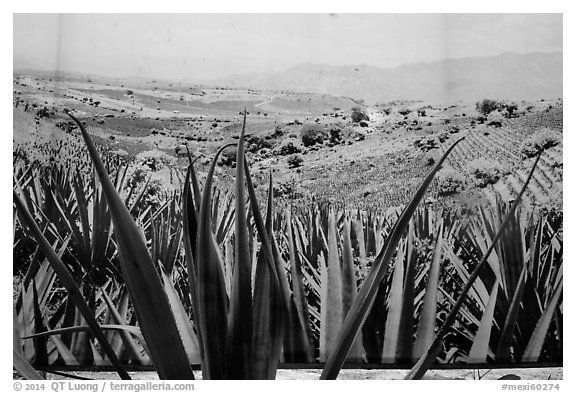 Agaves and pictures of landscape, tequilla factory. Cozumel Island, Mexico (black and white)