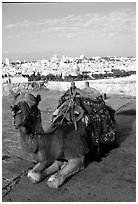 Camel with town skyline in the background. Jerusalem, Israel (black and white)