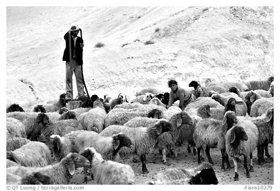 Man and girl feeding water to a hard of sheep, Judean Desert. West Bank, Occupied Territories (Israel) (black and white)