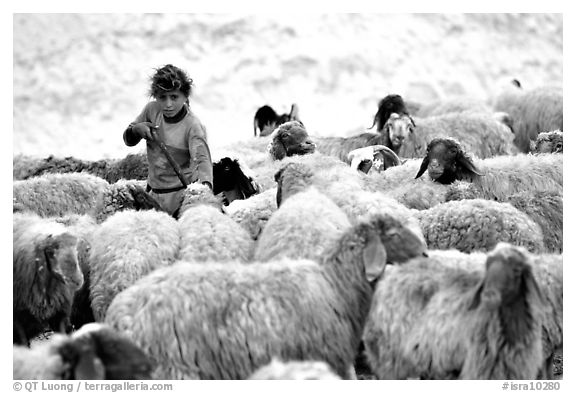 Bedouin girl feeding water to a hard of sheep, Judean Desert. West Bank, Occupied Territories (Israel) (black and white)