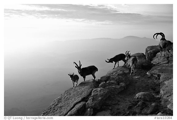Mountain ibex on the rim of Wadi Ruman  Crater, sunrise. Negev Desert, Israel (black and white)