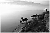 Mountain ibex on the rim of Wadi Ruman  Crater, sunrise. Negev Desert, Israel ( black and white)