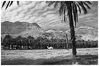 Camel and Oasis. Israel (black and white)