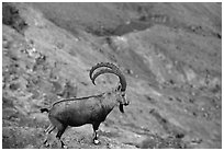 Ibex, Ramon crater. Negev Desert, Israel (black and white)