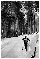 Backcountry skier at the base of Giant Sequoia trees, Mariposa Grove. Yosemite National Park, California (black and white)