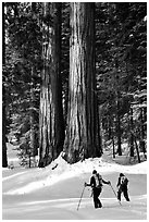 Cross-country skiers at the base of Giant Sequoia trees, Mariposa Grove. Yosemite National Park, California (black and white)