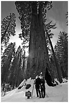 Skiers at the base of tree named Faithful couple tree in winter. Yosemite National Park, California (black and white)
