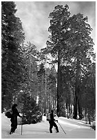 Skiers pause near the characteristic Clothespin tree, Mariposa Grove. Yosemite National Park, California (black and white)