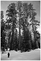 Skier and Upper Mariposa Grove in winter. Yosemite National Park, California (black and white)
