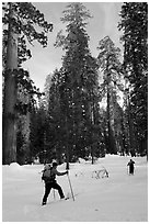 Cross-country skiing in the remote Upper Mariposa Grove. Yosemite National Park, California (black and white)