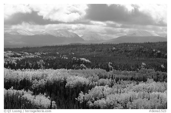 Aspen trees in fall foliage and Panorama Mountains, Riley Creek. Denali National Park (black and white)