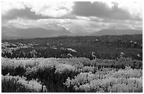 Aspen trees in fall foliage and Panorama Mountains, Riley Creek. Denali National Park, Alaska, USA. (black and white)