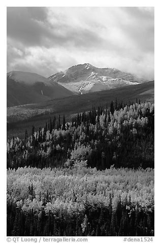 Aspens in yellow  fall colors and Panorama Range, Riley Creek drainage. Denali National Park (black and white)