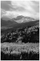 Aspens in yellow  fall colors and Panorama Range, Riley Creek drainage. Denali National Park ( black and white)