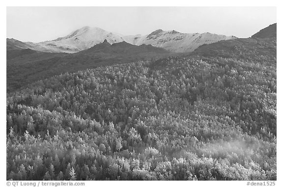 Hillside with aspens in fall colors. Denali National Park (black and white)