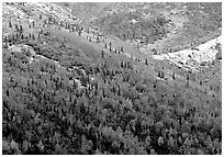 Hillside with Aspens in fall colors and fresh snow. Denali National Park ( black and white)