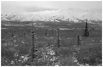 Spruce trees, tundra, and peaks with fresh snow. Denali National Park, Alaska, USA. (black and white)