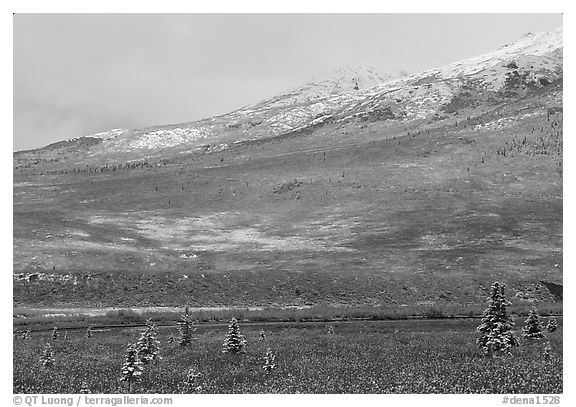 Dusting of snow and tundra fall colors  near Savage River. Denali National Park (black and white)