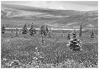 Dusting of snow on the tundra and spruce trees near Savage River. Denali National Park, Alaska, USA. (black and white)