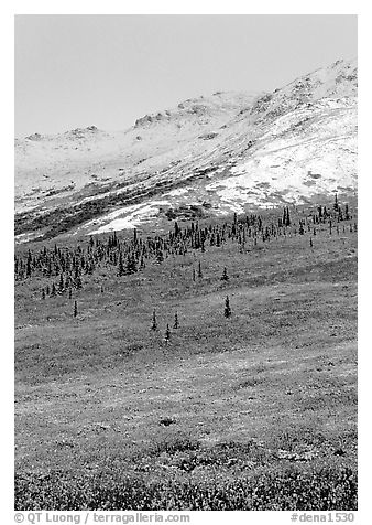 Dusting of fresh snow and autumn colors on tundra near Savage River. Denali National Park (black and white)