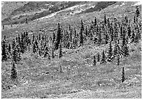 Spruce trees and tundra covered by fresh snow, near Savage River. Denali National Park, Alaska, USA. (black and white)
