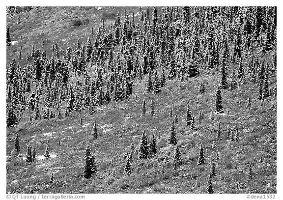 Spruce trees and tundra covered by fresh snow, near Savage River. Denali National Park (black and white)