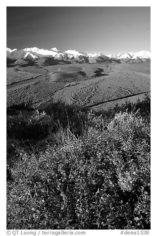 Berry plants, braided rivers, Alaska Range in early morning from Polychrome Pass. Denali National Park (black and white)