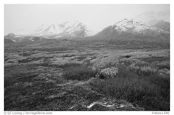 Tundra in autumn color and Polychrome Mountains in fog. Denali National Park (black and white)