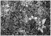 Dwarf tundra plants close-up. Denali National Park, Alaska, USA. (black and white)