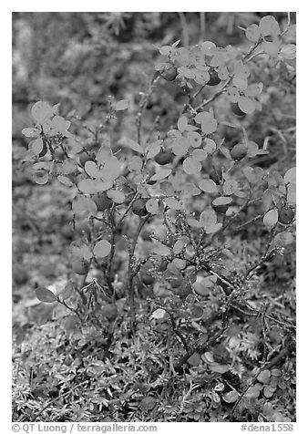 Blueberries in the fall. Denali National Park (black and white)